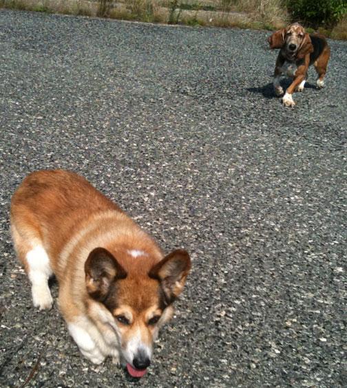Cape Cod Dogs